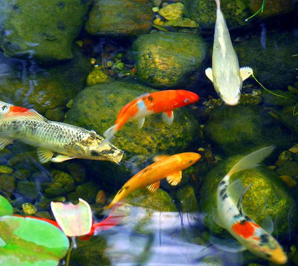Koi Pond Fish